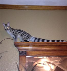 Onxy  (Spotted Genet)