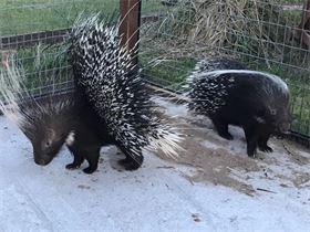 African Crested Porcupines